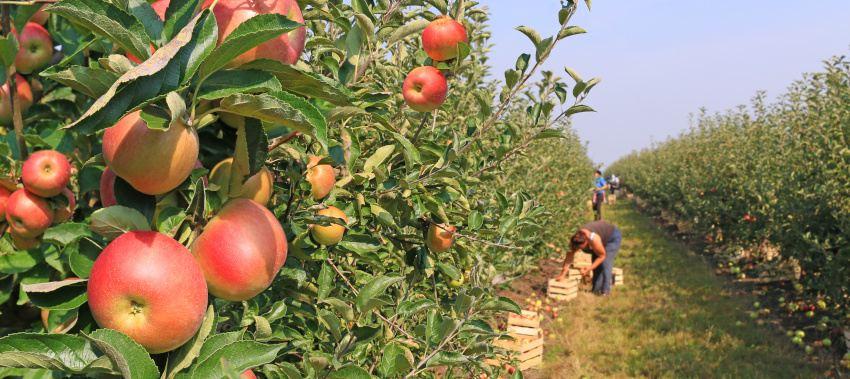 fruit picking ta